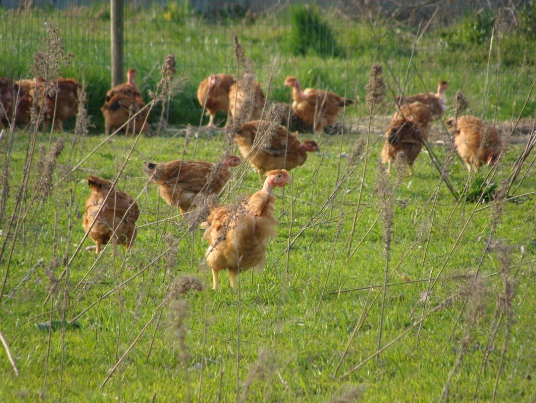 Ration Planning Tool and User's Manual: Poultry and Swine